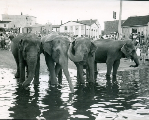 Belfast Historical Society and Museum Photo Of Elephants